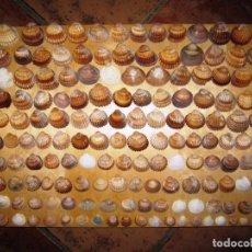 Coleccionismo de minerales: COLECCIÓN DE 170 CONCHAS MARINAS. Lote 170956392