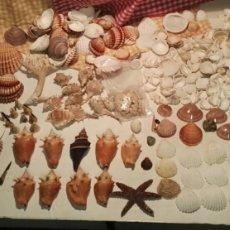 Coleccionismo de minerales: GRAN Y EXCEPCIONAL LOTE DE CONCHAS CARACOLAS MARINAS. Lote 192216075