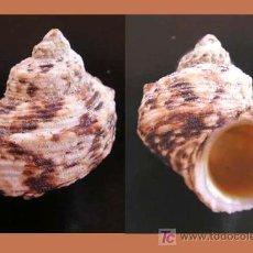 Coleccionismo de moluscos: TURBO BRUNEUS / PACIFICO OESTE. Lote 26673597