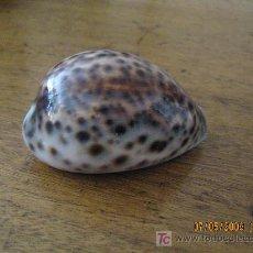 Coleccionismo de moluscos: CARACOLA DE COLECCION. Lote 27419062