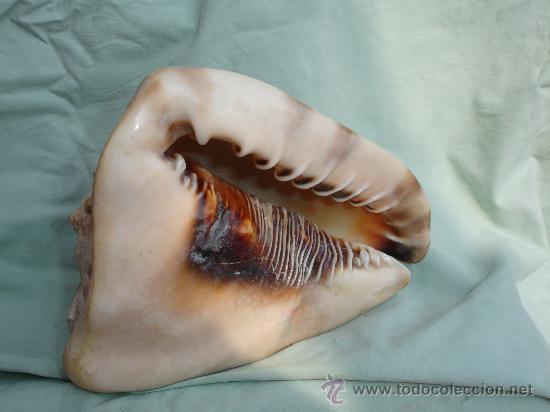 Coleccionismo de moluscos: ENORME Y PRECIOSA CARACOLA - Foto 2 - 28960722