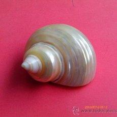Coleccionismo de moluscos: CARACOLA DE NACAR,. Lote 29889364