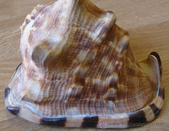 Coleccionismo de moluscos: CONCHA DE CARACOLA INDONESIA + 70 AÑOS ¡¡¡SOLO HOY!!!! - Foto 3 - 31972072