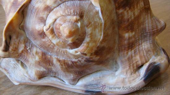Coleccionismo de moluscos: CONCHA DE CARACOLA INDONESIA + 70 AÑOS ¡¡¡SOLO HOY!!!! - Foto 7 - 31972072