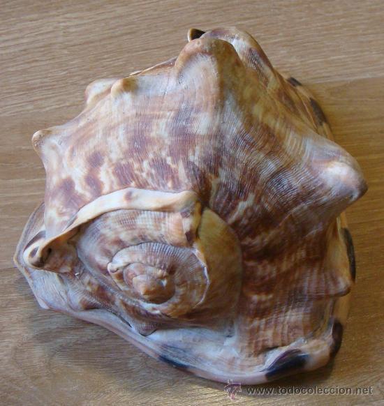 Coleccionismo de moluscos: CONCHA DE CARACOLA INDONESIA + 70 AÑOS ¡¡¡SOLO HOY!!!! - Foto 10 - 31972072