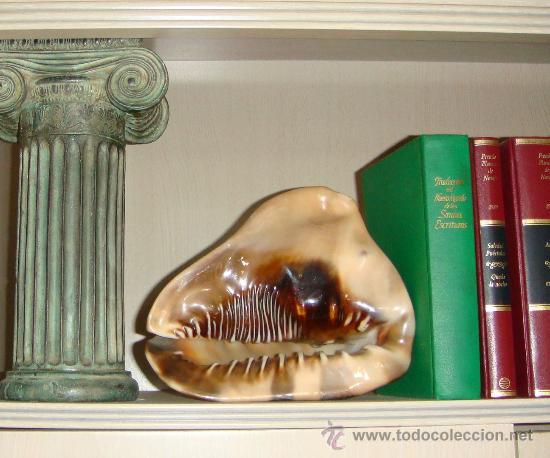Coleccionismo de moluscos: CONCHA DE CARACOLA INDONESIA + 70 AÑOS ¡¡¡SOLO HOY!!!! - Foto 13 - 31972072