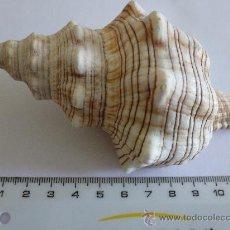 Coleccionismo de moluscos: CARACOLA PLEUROPLOCA TRAPEZIUM. Lote 113899150