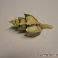 Coleccionismo de moluscos: CONCHA DE CARACOL BOREOTROPHON PAUCICOSTATUS.. Lote 36487709
