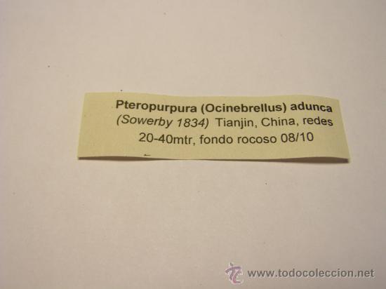 Coleccionismo de moluscos: Concha de caracol pteropurpura (Ocinebrellus) adunca. - Foto 5 - 36487957