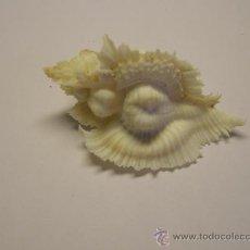 Coleccionismo de moluscos: CONCHA DE CARACOL PTERYNOTUS MIYOKOAE.. Lote 36488105