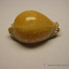 Coleccionismo de moluscos: CONCHA DE CARACOL EROSARIA GUTTATA.. Lote 36490711