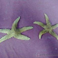 Coleccionismo de moluscos: DOS ESTRELLAS DE MAR DESECADAS. Lote 39211779