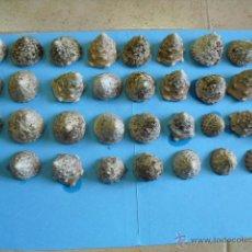 Coleccionismo de moluscos: 35 CARACOLAS MARINAS,RUSTICAS SIN PULIR,ENVIO GRATIS. Lote 39899248