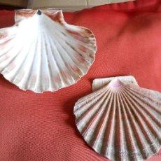 Coleccionismo de moluscos: CONCHAS DE VIEIRA. Lote 42247825