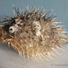 Coleccionismo de moluscos: TAXIDERMIA. PEZ GLOBO DISECADO.. Lote 42418099