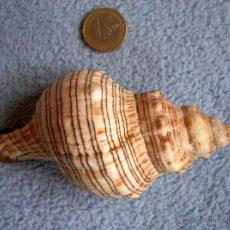 Coleccionismo de moluscos: CARACOLA - CONCHA MARINA. CARACOL MARINO.. Lote 98426462