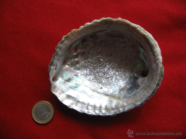 Coleccionismo de moluscos: Concha nacar,Oreja de mar,Haliotis.10,5 x 8,5 x 4 cm. - Foto 2 - 45331350