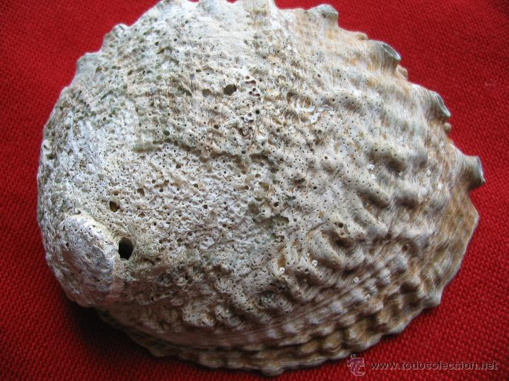 Coleccionismo de moluscos: Concha nacar,Oreja de mar,Haliotis.10,5 x 8,5 x 4 cm. - Foto 3 - 45331350