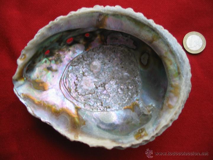 Coleccionismo de moluscos: Concha nacar,Oreja de mar,Haliotis.14,5 x 11,5 x 5 cm. - Foto 4 - 45496463