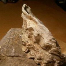 Coleccionismo de moluscos: OSTRA. Lote 46317357