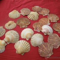 Coleccionismo de moluscos: GRAN LOTE CONCHAS VIEIRAS AÑOS 70-80 ,, . Lote 46465542