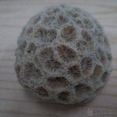 Coleccionismo de moluscos: ESPONJA MARINA. CORAL BLANCO. Lote 47073092