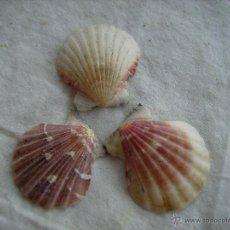 Coleccionismo de moluscos: **LOTE DE 3 BONITAS CONCHAS ----IGUALITAS, DEL MISMO TAMAÑO----(4 X 3,5 CM)**. Lote 49879709