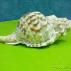 Coleccionismo de moluscos: CARACOLA MARINA. Lote 50322550
