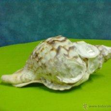 Coleccionismo de moluscos: CARACOLA DE MAR. Lote 50322589