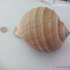 Colecionismo de moluscos: CARACOLA O CONCHA DE TAMAÑO GRANDE. 17 CM. Lote 50458389