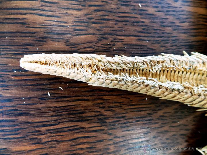Coleccionismo de moluscos: DECORATIVO EQUINODERMO O ESTRELLA DE MAR DISECADA - Foto 6 - 52377417