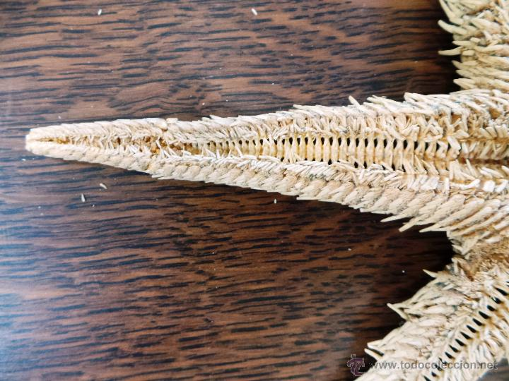 Coleccionismo de moluscos: DECORATIVO EQUINODERMO O ESTRELLA DE MAR DISECADA - Foto 7 - 52377417