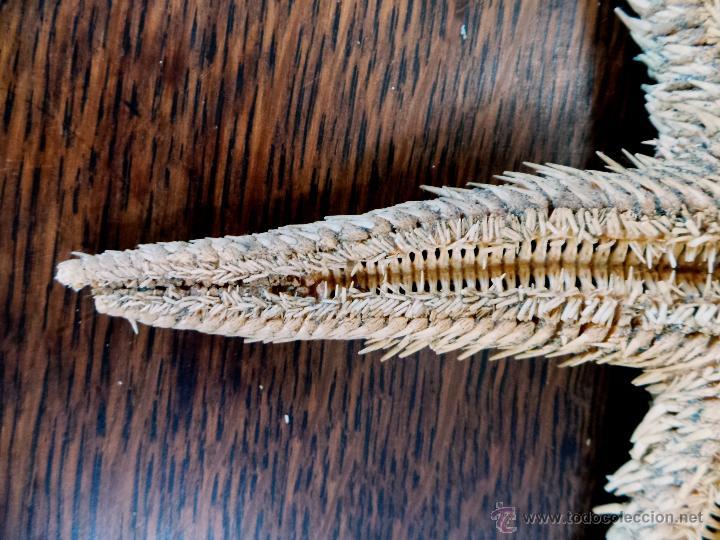 Coleccionismo de moluscos: DECORATIVO EQUINODERMO O ESTRELLA DE MAR DISECADA - Foto 8 - 52377417