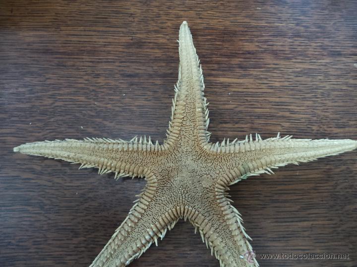 Coleccionismo de moluscos: DECORATIVO EQUINODERMO O ESTRELLA DE MAR DISECADA - Foto 11 - 52377417