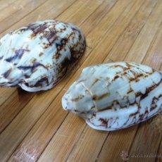Coleccionismo de moluscos: BONITO CARACOL MARINO VOLUTA - DOS CARACOLAS MARINAS COLOR NATURAL Y MARRÓN. Lote 53258920