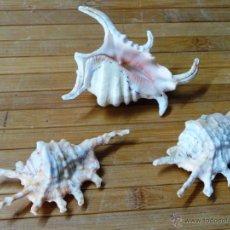 Coleccionismo de moluscos: TRES CARACOL ARAÑA DE MAR CON PUNTAS LAMBYS. Lote 53265830