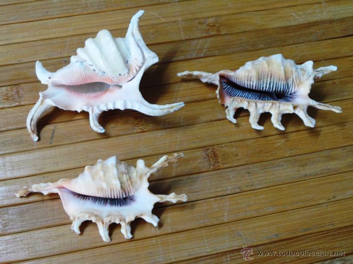 Coleccionismo de moluscos: TRES CARACOL ARAÑA DE MAR CON PUNTAS LAMBYS - Foto 2 - 53265830