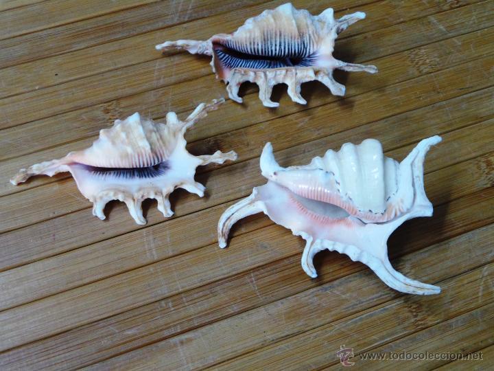 Coleccionismo de moluscos: TRES CARACOL ARAÑA DE MAR CON PUNTAS LAMBYS - Foto 16 - 53265830