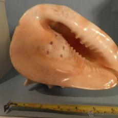 Coleccionismo de moluscos: ANTIGUA CARACOLA MARINA CASSIS CORNUTA 8 CM. Lote 54188429