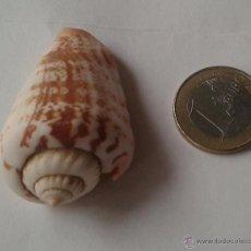 Coleccionismo de moluscos: CONO BOCA NEGRA. 50 MM. TESELLATED. Lote 54363757