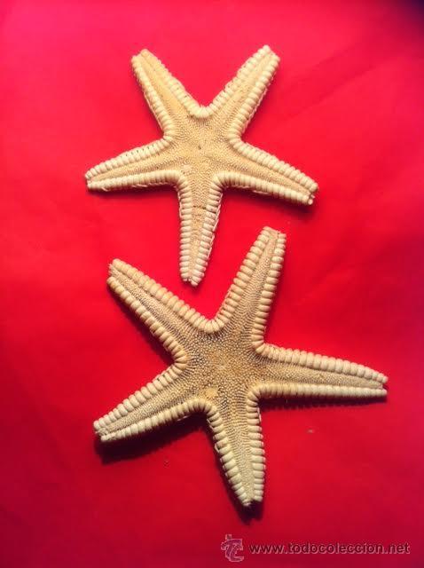 Coleccionismo de moluscos: Preciosas Estrellas de Mar naturales - Foto 3 - 54563037