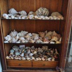Coleccionismo de moluscos: IMPORTANTE COLECCIÓN DE CONCHAS MARINAS, CARACOLAS, CARACOLES MARINOS DE MAR, CORAL, MALACOLOGIA.... Lote 54968879