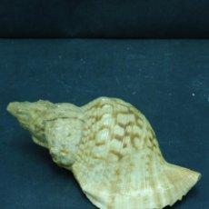 Coleccionismo de moluscos: CONCHA DECORATIVA PESO 200 GR 185 CM ANCHO F47. Lote 56273171