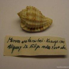 Coleccionismo de moluscos: CONCHA DE CARACOL MORUM WATANABEI .. Lote 56286972