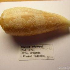 Coleccionismo de moluscos: CONCHA DE CARACOL CONUS VICWEEI. Lote 56302962