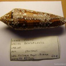 Coleccionismo de moluscos: CONCHA DE CARACOL CONUS BENGALENSIS.. Lote 56303407