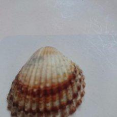 Coleccionismo de moluscos: CONCHA PEQUEÑA DE MOLUSCO. Lote 57690164