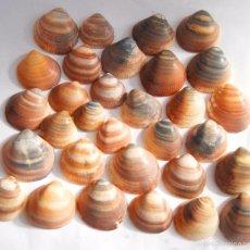 Coleccionismo de moluscos: 32 CONCHAS GRUESAS DE MAR. Lote 58673595