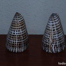 Coleccionismo de moluscos: PAREJA DE CARACOLAS - CONUS LITTERATUS - CARACOLA MARINA - INDO-PACÍFICO. Lote 133741745