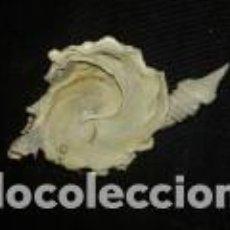 Coleccionismo de moluscos: CARACOLA MARINA 6X6X3, 5. Lote 69041969